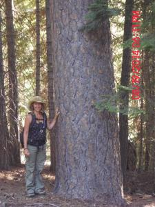 Ilana with a large old growth Ponderosa pine in the Gap sale. Our recent Snow Basin court victory may help stop the logging of large trees in multiple sales.