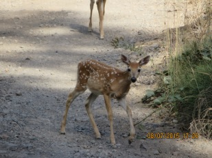 Columbia white-tailed fawn next to Tiger-Webb timber sale area