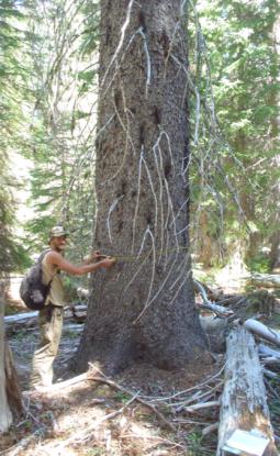 Gambit spruce