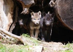061212_wenaha_wolf_pups_hr