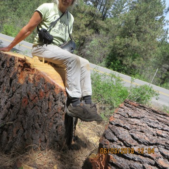"Karen with yet another old growth ponderosa deemed a ""hazard tree"""" and sold"