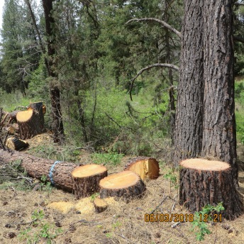 Stumps and logs. None of the logs will be left as biomass to enrich the forest