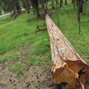 Fallen ponderosa pine waiting for purchaser to come claim it